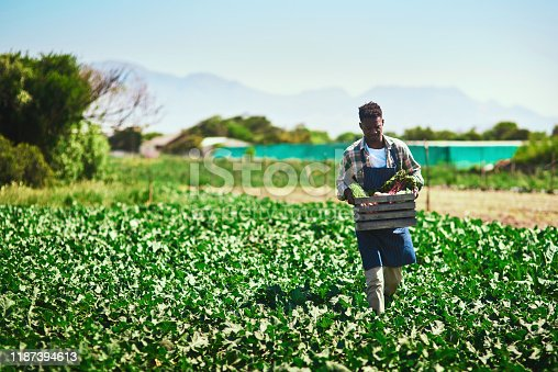 Full length shot of a young farmer walking and carrying a crate full of fresh produce at his farm