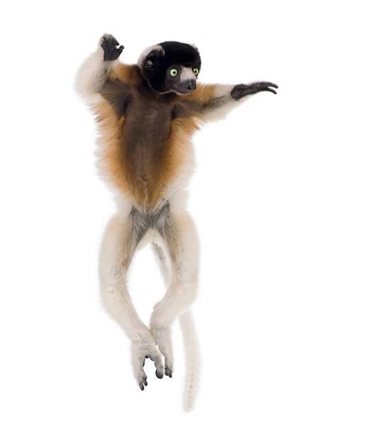 a young, 1-year old crowned sifaka monkey, - lemur bildbanksfoton och bilder