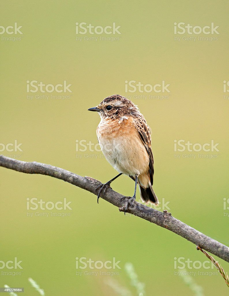 Young a whinchat on a branch stock photo