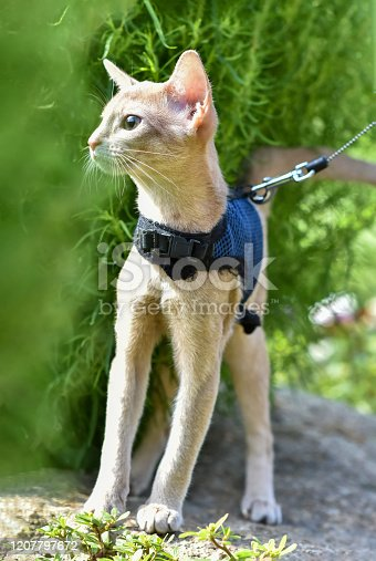 Young Abyssinian cat color Faun with a leash walking around the yard. Cute cat in harness sitting on the lawn. Pets walking outdoors, adventures on the green grass in the Park.