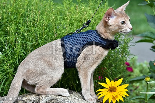 istock Young Abyssinian cat color Faun with a leash walking around the yard. Pets walking outdoors, adventures n the Park. 1321512487