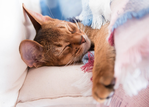 Young Abyssinian red cat sleep in bed. Sweet kitten under pink and blue blanket. Pastel color photo.