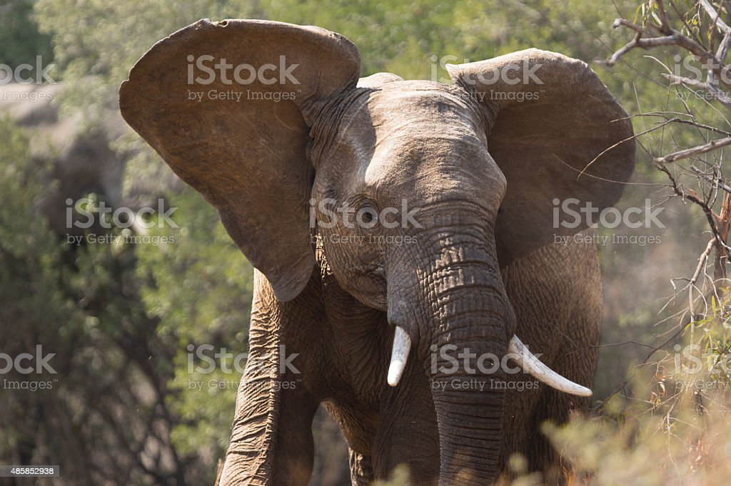 Young adult elephant royalty-free stock photo