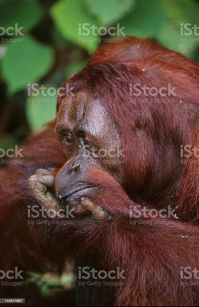 Young adult male orangutan royalty-free stock photo