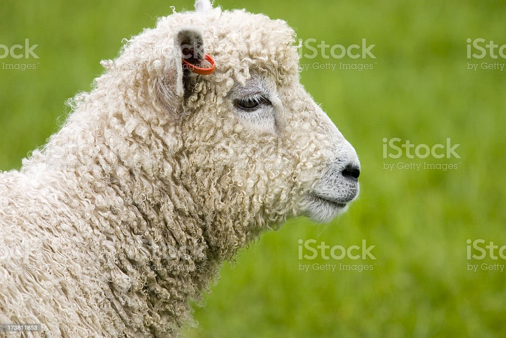 Young Adult Ovis Aries stock photo