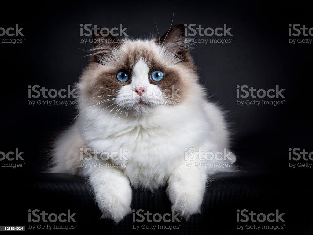 Jonge volwassen Ragdoll kat leggen geïsoleerd op zwarte achtergrond met paws opknoping over rand foto
