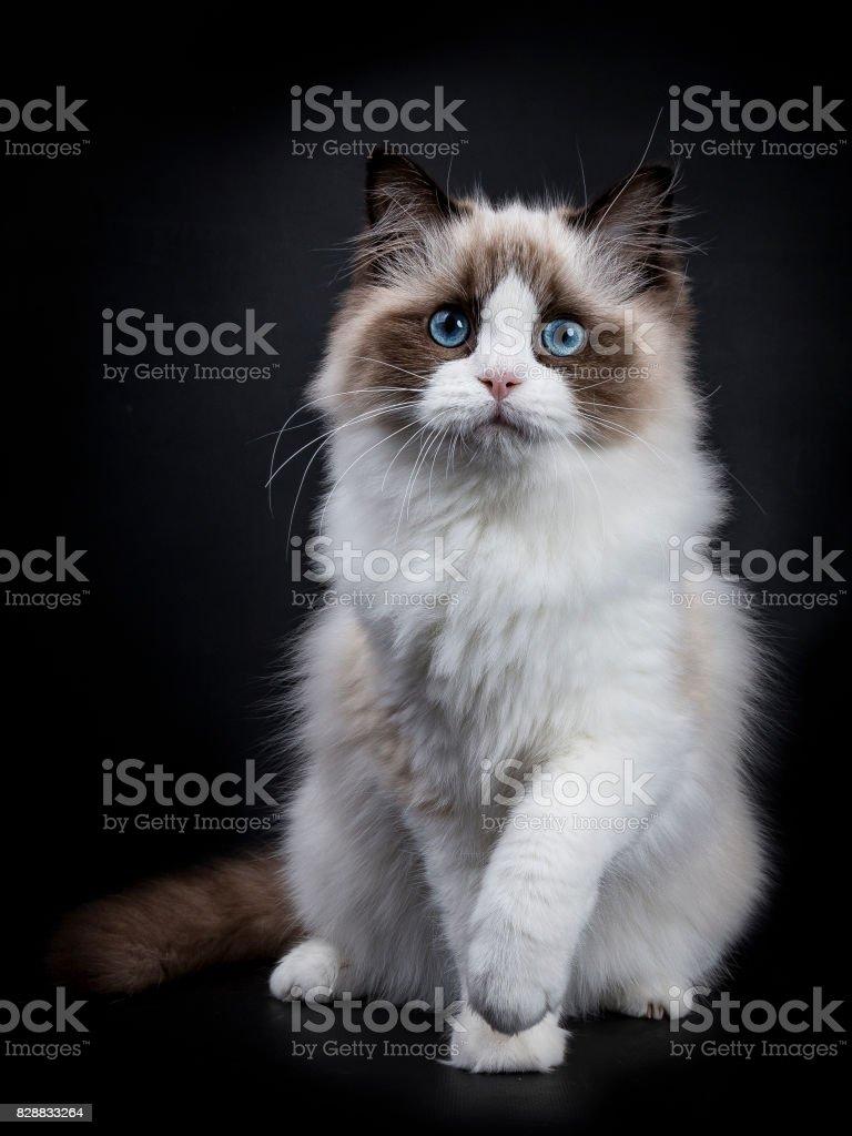 Jonge volwassen Ragdoll kat zitten frontale geïsoleerd op zwarte achtergrond met paw gekanteld foto