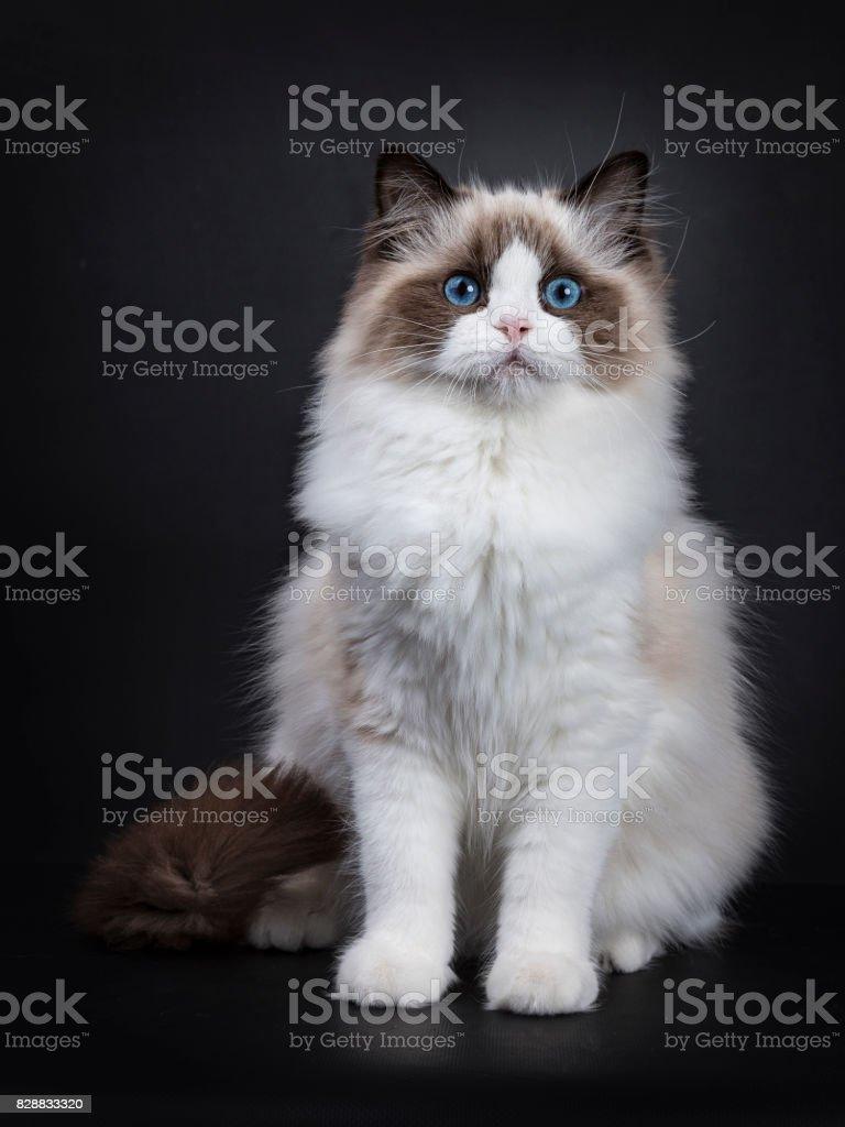 Jonge volwassen Ragdoll kat frontale zittend op zwarte achtergrond foto