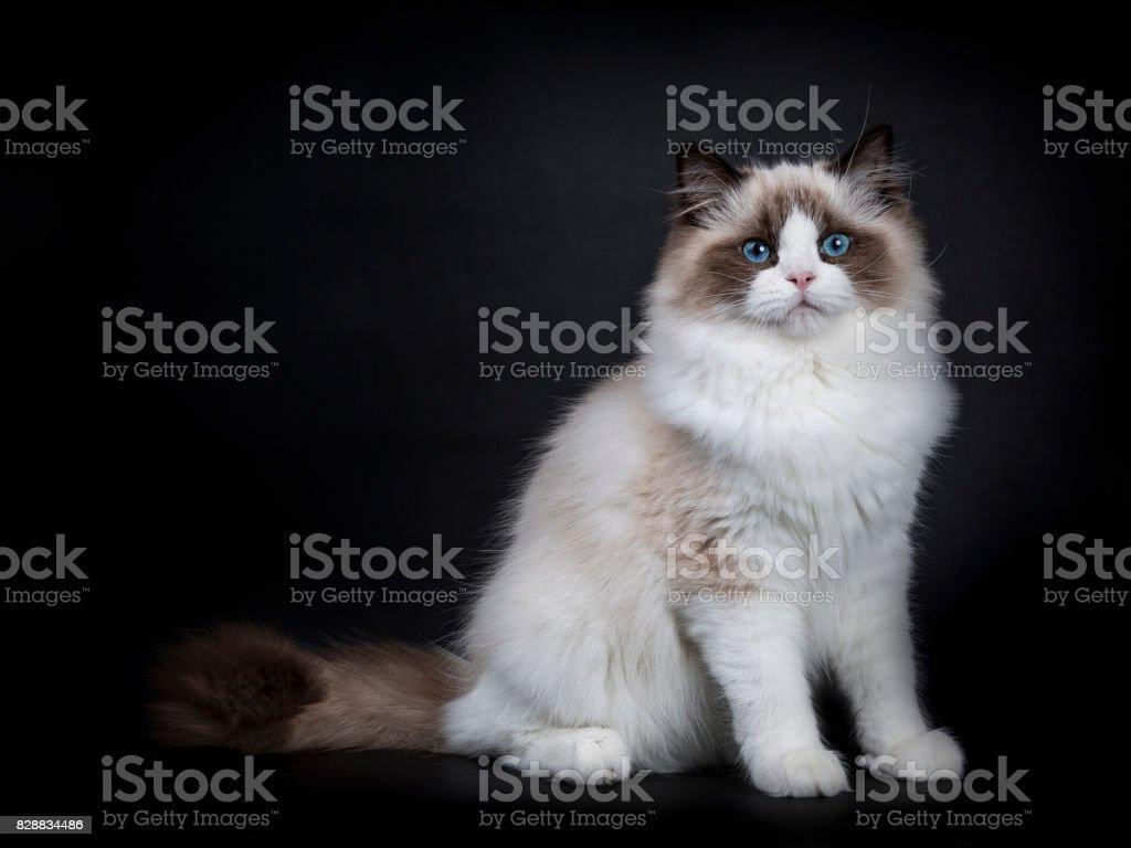 Jonge volwassen Ragdoll kat vergadering zijwaarts geïsoleerd op zwarte achtergrond (1) foto