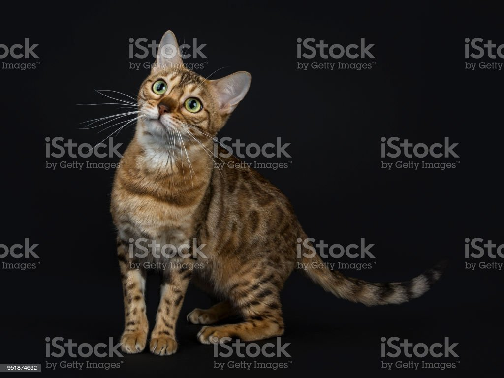 Young adult shiny female with yellow / green eyes bengal cat standing side ways and looking up isolated on black background stock photo