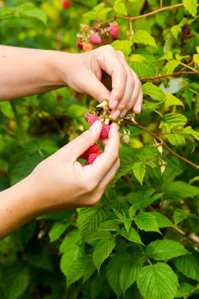 Young adult women picking organic homegrown raspberries stock photo