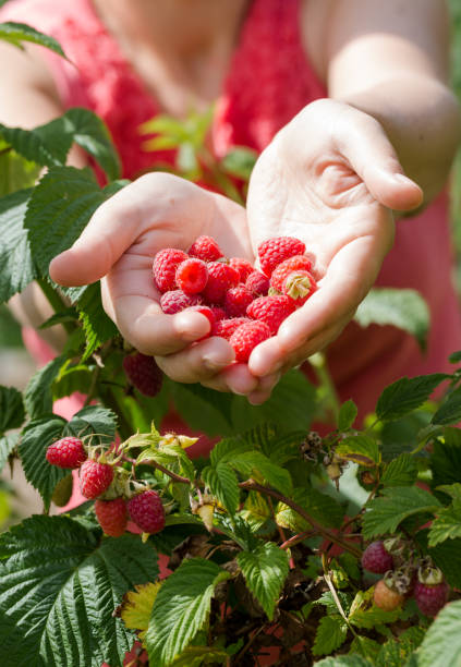 Young adult women share raspberries holding in hands stock photo