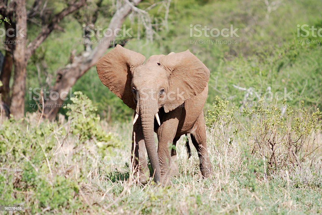 Young african elephant calf looks at me royalty-free stock photo