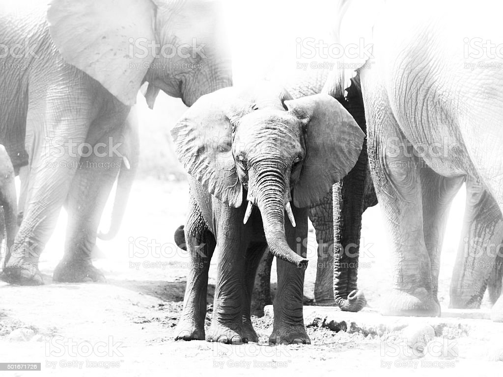 Young african elephant in the middle of family herd stock photo
