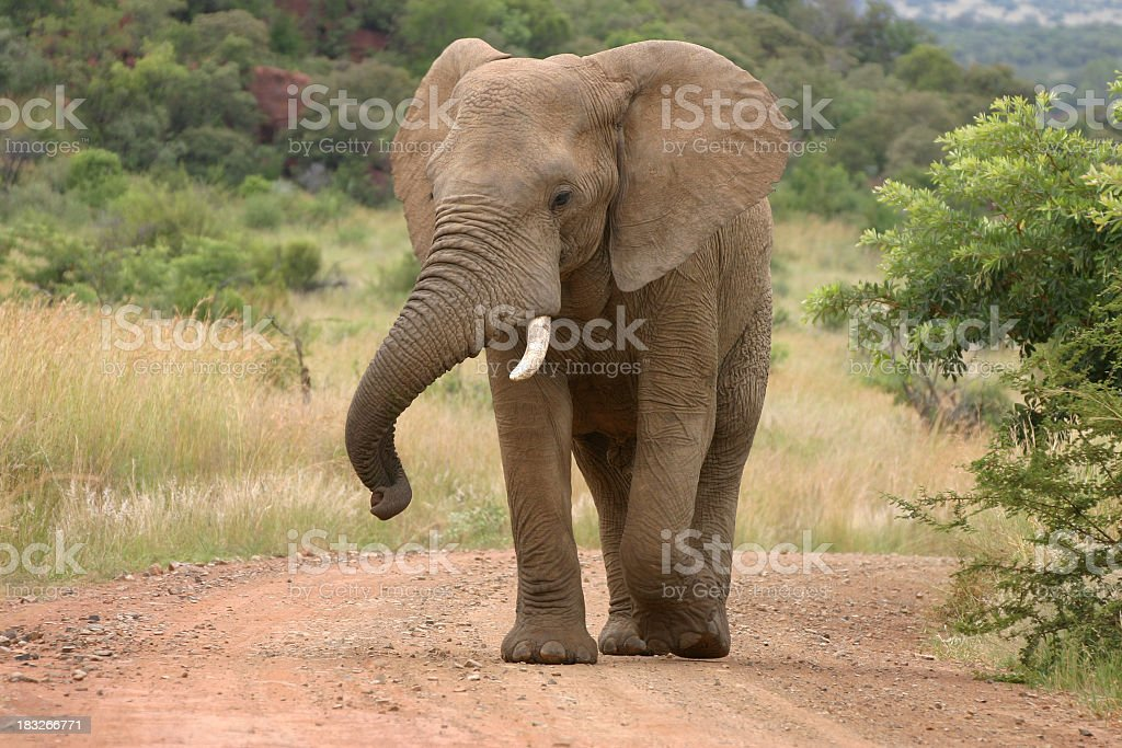 Young African elephant walking along dusty road stock photo