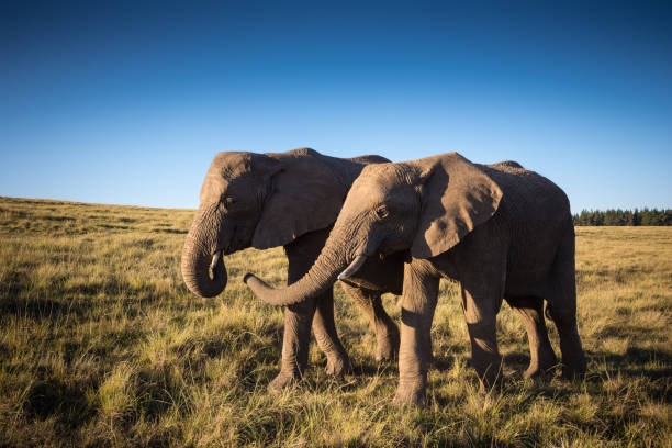 Young African elephants walking through plain together stock photo