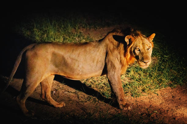 Young african lion at night picture id1145480483?b=1&k=6&m=1145480483&s=612x612&w=0&h=prxtmogwsdfofk6vii3gmmc0qz8jy7auvzhjxvipqc4=
