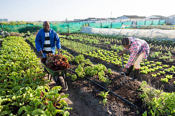 Young African Man Standing Smiling garden A morning image of two african Xhosa adult males harvesting vegetables, one is pushing a wheelbarrow filled with harvested vegetables, the other is harvesting with a pitchfork pitchfork agricultural equipment stock pictures, royalty-free photos & images