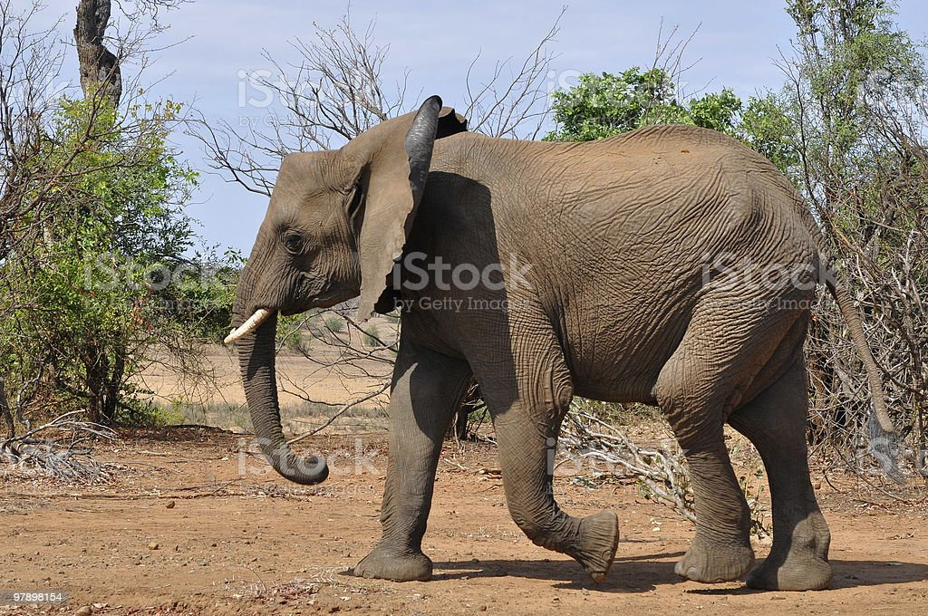 young african savanna elephant royalty-free stock photo