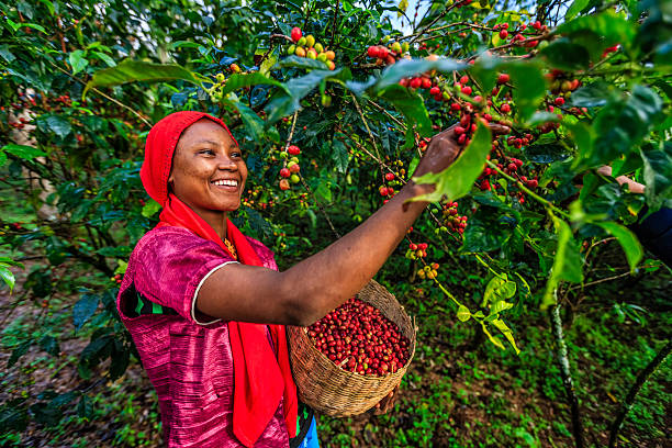 Young African woman collecting coffee cherries, East Africa Young African woman collecting coffee berries from a coffee plant, Ethiopia, Africa. There are several species of Coffea - the coffee plant. The finest quality of Coffea being Arabica, which originated in the highlands of Ethiopia. Arabica represents almost 60% of the world's coffee production.. east africa stock pictures, royalty-free photos & images