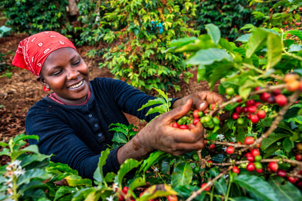 Young African woman collecting coffee cherries, Kenya, East Africa stock photo