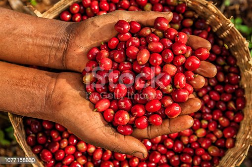 Young African woman showing freshly picked coffee cherries, coffee farm in Ethiopia, Africa. There are several species of Coffea - the coffee plant. The finest quality of Coffea being Arabica, which originated in the highlands of Ethiopia. Arabica represents almost 60% of the world's coffee production..