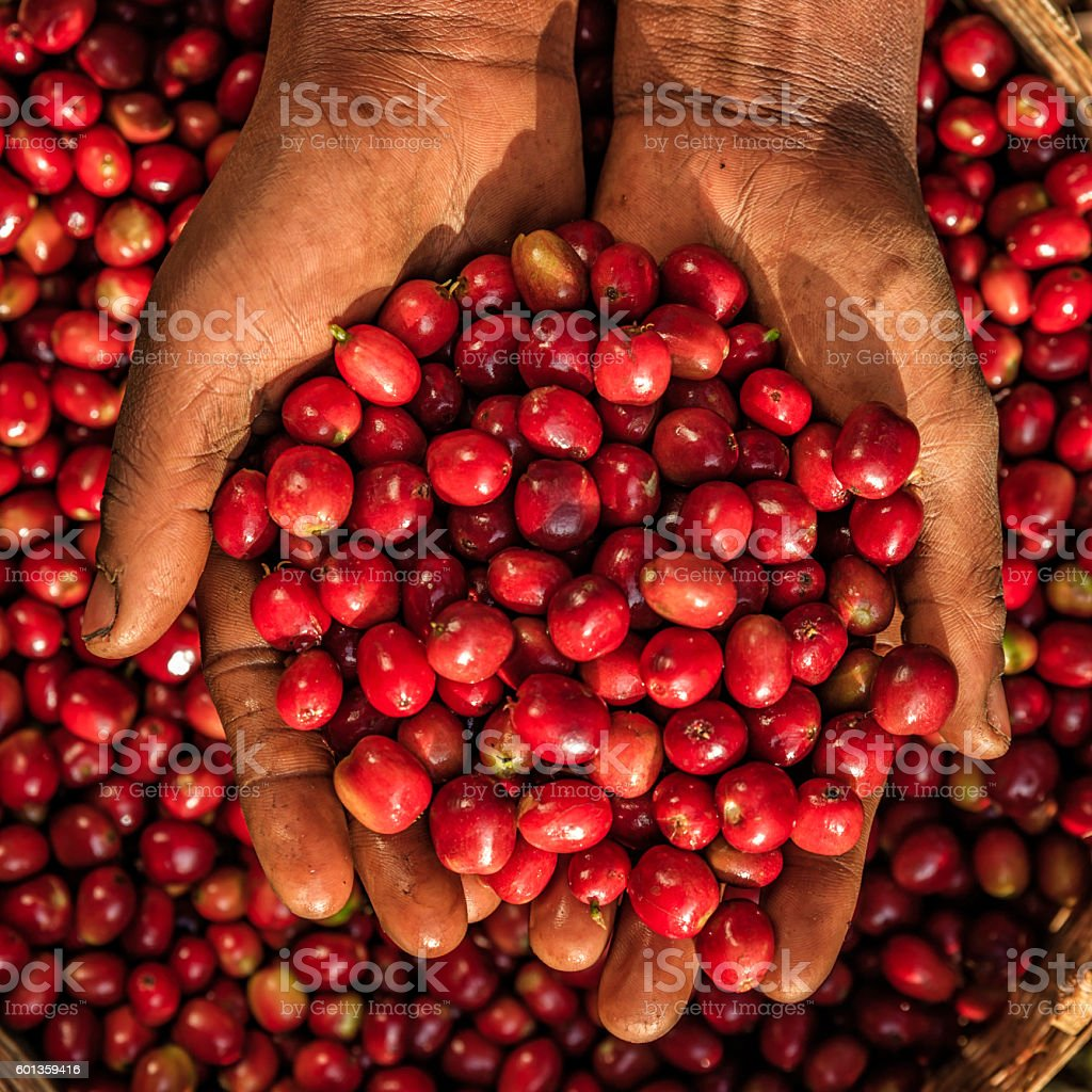 Young African woman showing freshly picked coffee cherries, East Africa stock photo