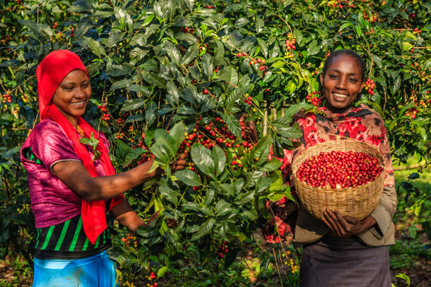 Young African women collecting coffee cherries, East Africa - Photo