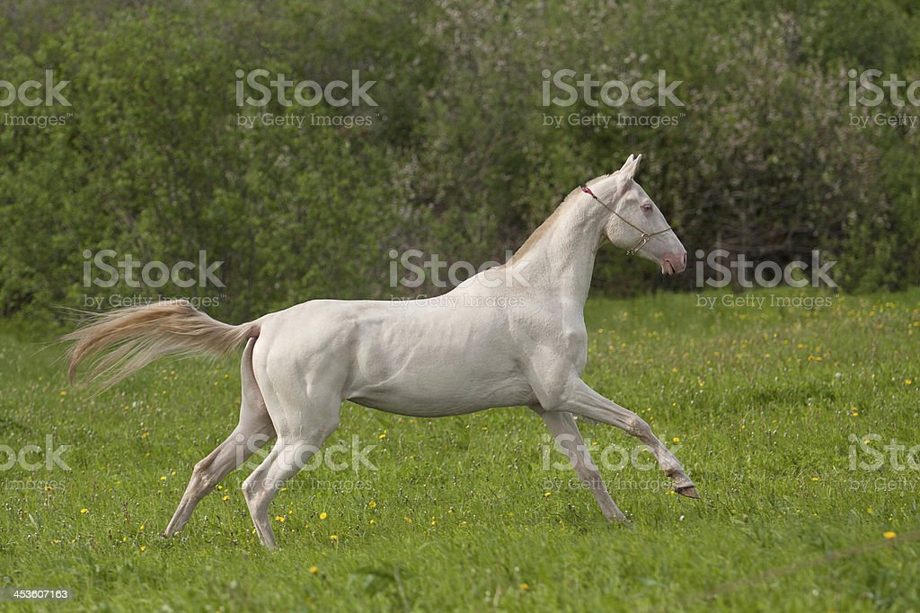 Young Akhal-Teke mare royalty-free stock photo