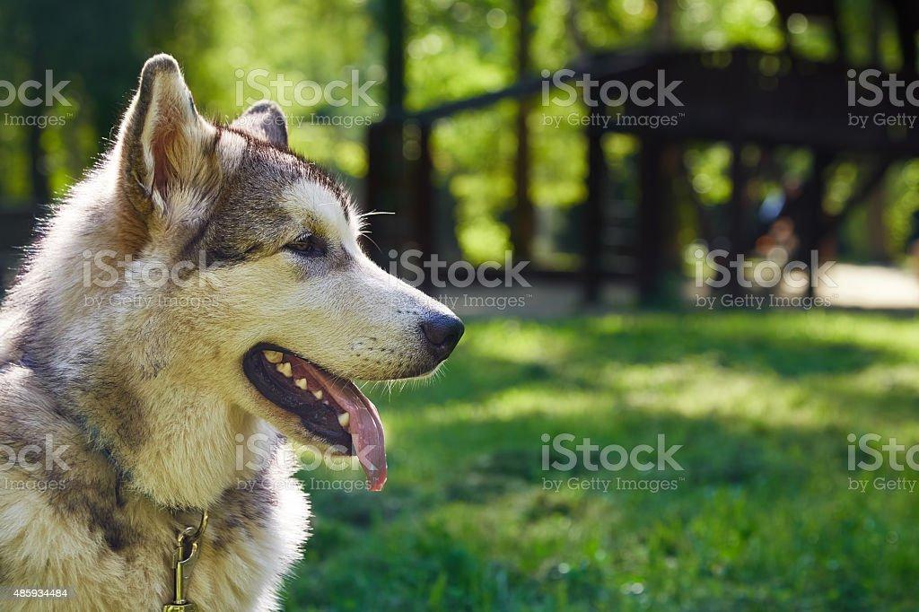 Молодые-то аляскинский Маламут санях породы щенка, улыбается на открытом воздухе и мягкий уголок стоковое фото