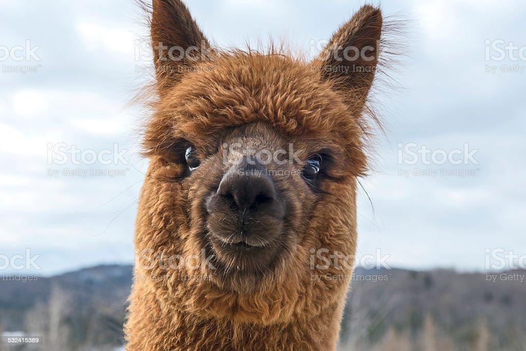 Young alpaca looking at camera. stock photo