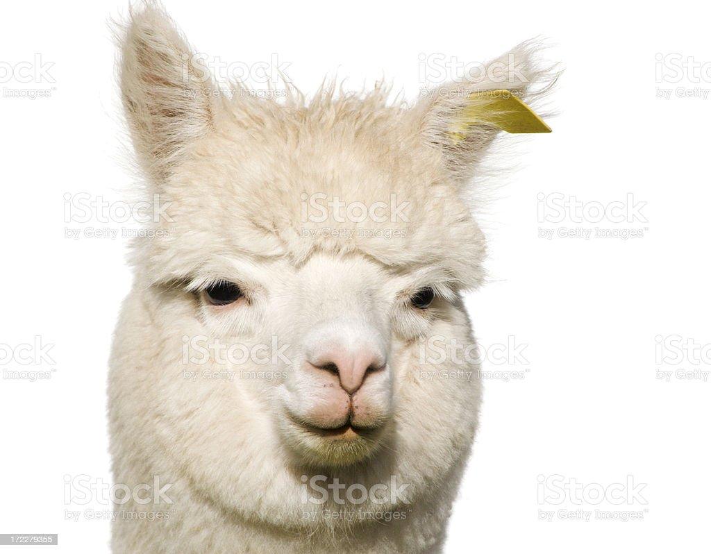 Young Alpaca on White foto