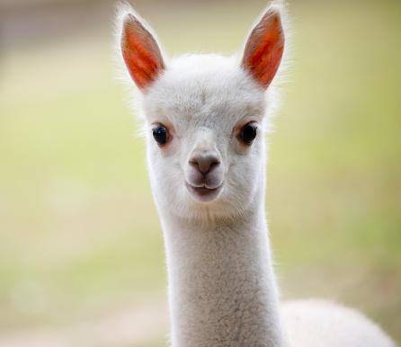 Portrait of a cute fluffy alpaca in zoo
