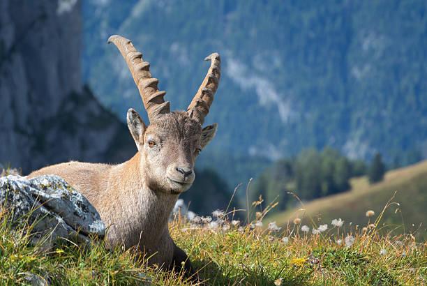 Junge Alpine Ibex – Foto