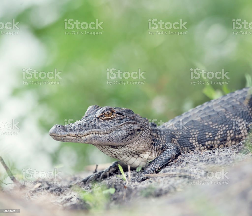 Young American Alligator stock photo
