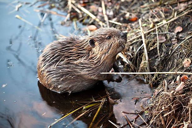 Young American Beaver at Base of Beaver Lodge Young beaver coming out of the water terryfic3d stock pictures, royalty-free photos & images