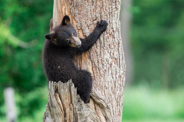 Ung amerikansk svartbjörn som klättrar i trädet bildbanksfoto