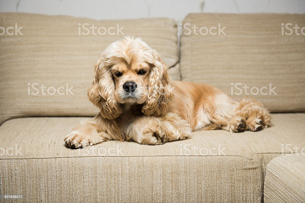 Young American cocker spaniel stock photo