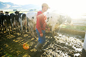 This is a horizontal, color photograph of a young American farmer working in the morning with cows on a dairy farm. The morning sun casts a lens flare across the muddy pen filled with cows as he leads them toward the milking pen.