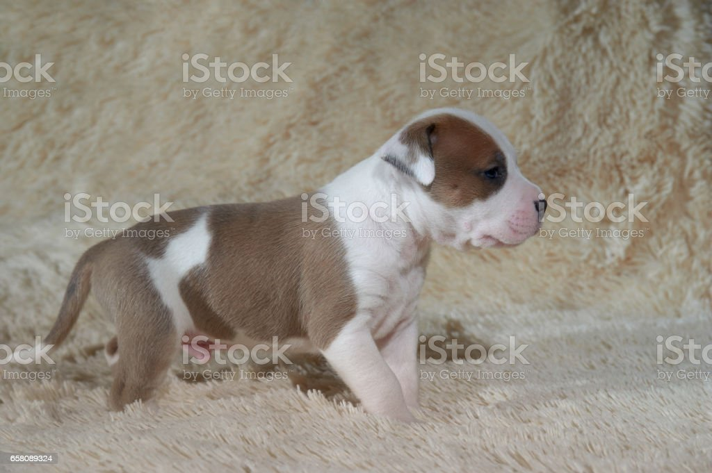young  American stafford terrier posing in studio royalty-free stock photo