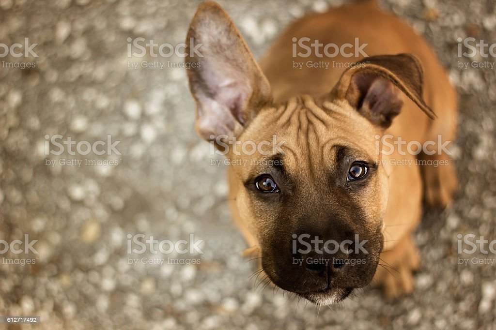 Young American Staffordshire terrier 스톡 사진