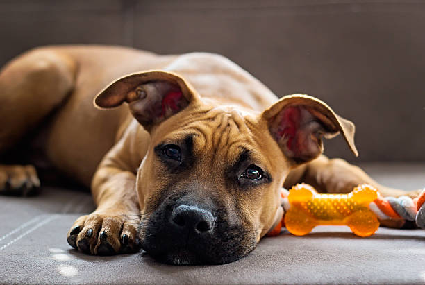 Young American Staffordshire terrier stock photo