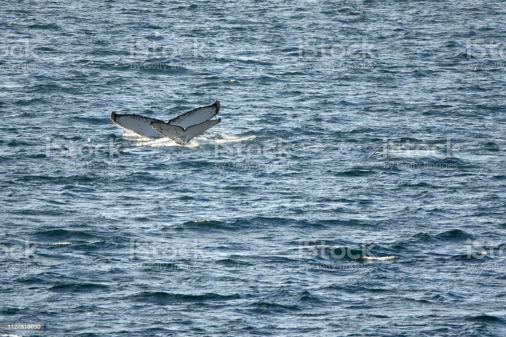 Young and adult humpback whale tails Gerlache Strait Danco Coast Antarctica stock photo