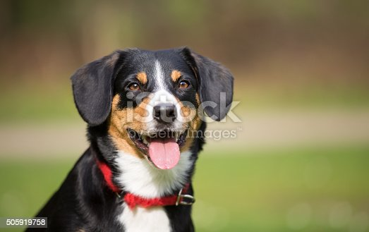 Young and friendly and realy cute dog, Entlebucher Sennen Hund, locking into camera, sticking out tongue. It seems to laugh. It`s waering a red neckband.