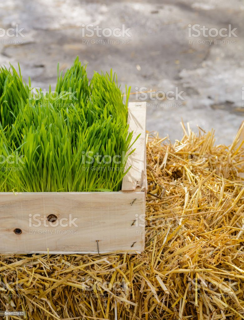 Young and green wheat sprouts in a wooden box on hay. stock photo