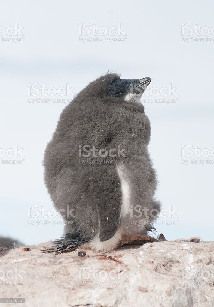 Young and moulting sleep Adélie penguin. stock photo