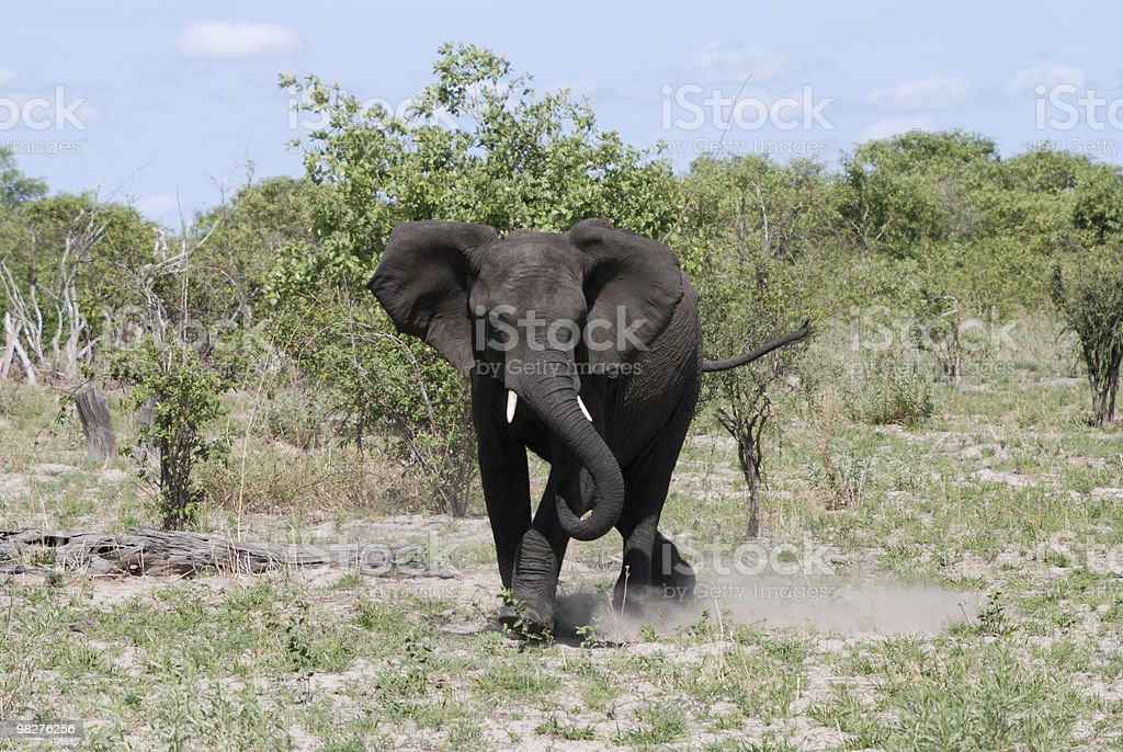 Young angry elephant defending his territory royalty-free stock photo
