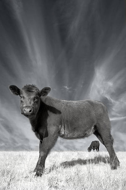 Young Angus, Dramatic Sky stock photo