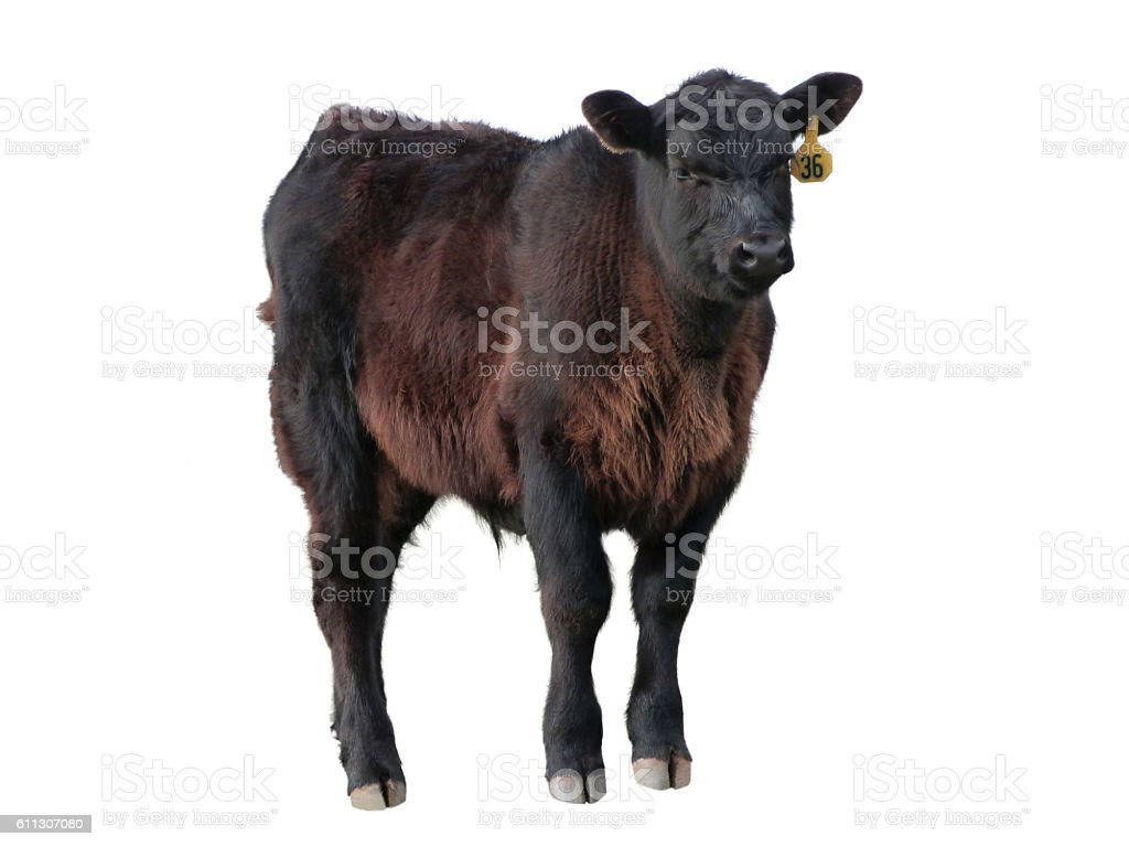 Young Animal Black Angus Beef Calf Livestock Isolated stock photo
