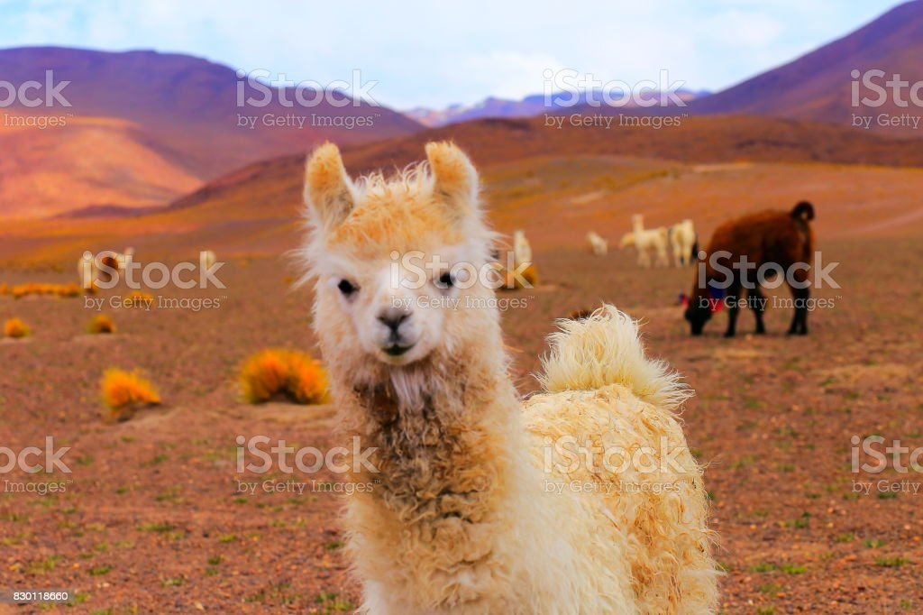 Young animal - Lonely Alpaca andean llama, animal wildlife in...
